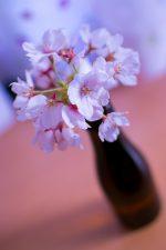 今年一番の桜。