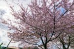 いつもの桜の下で立ち止まって。